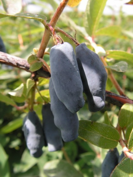 Another Superfruit: Honeyberry