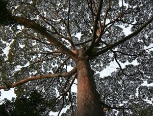Borneo Dipterocarp