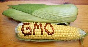 GMOCorn