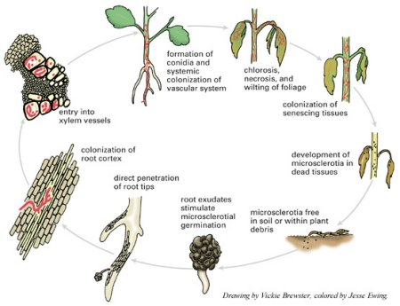 soil borne viral diseases of guava plant Disease of horticultural crops & their management icar e-course diseases of guava 33-35 7 the plant usually blossoms heavily and dies before the fruits.